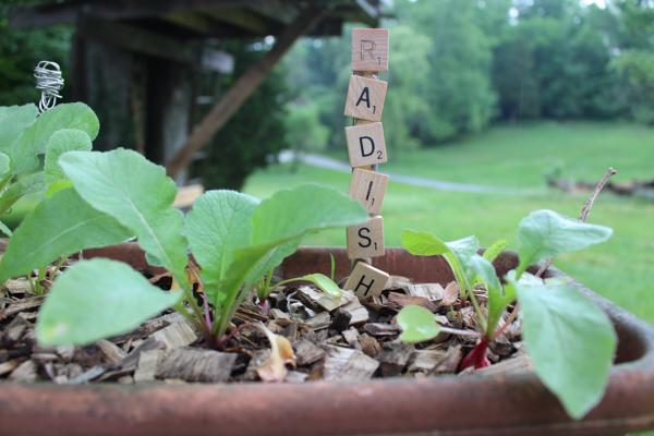 radish plant marker